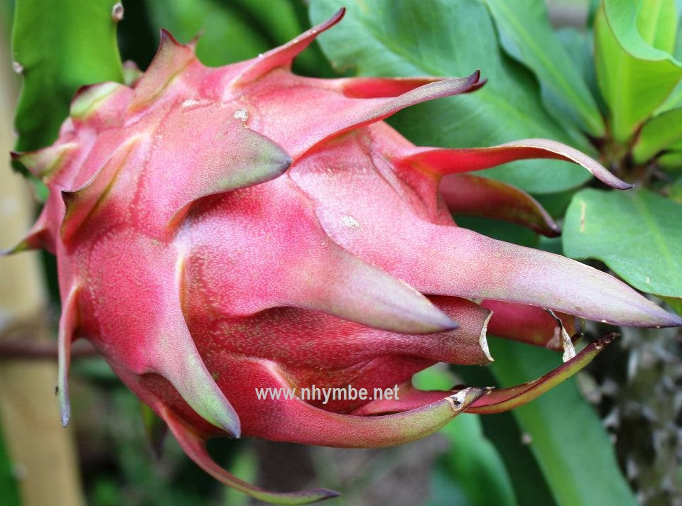 dragon fruit 6